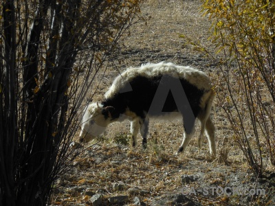 Animal china east asia himalayan tibet.