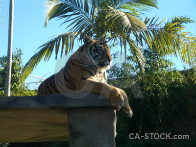 Animal cyan cat tiger green.