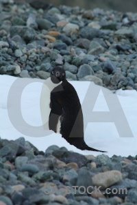 Animal day 5 antarctic peninsula adelie antarctica.