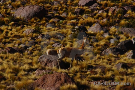Animal deer rock andes south america.
