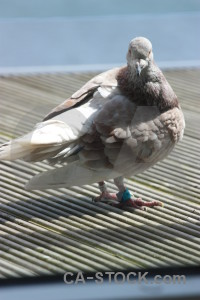 Animal dove bird pigeon.