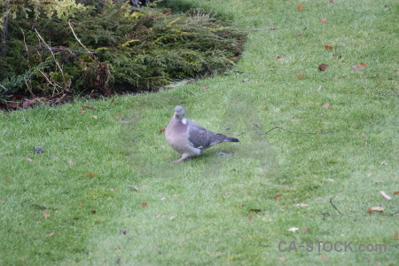 Animal dove pigeon bird grass.
