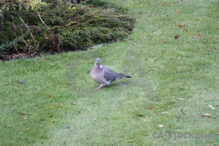 Animal dove pigeon bird grass.