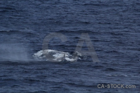 Animal drake passage antarctica cruise water whale.
