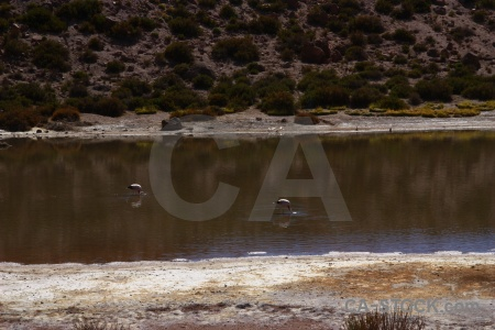 Animal el tatio atacama desert lake flamingo.