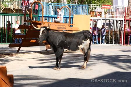 Animal europe white bull running.