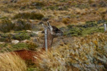 Animal field argentina deer vicuna.