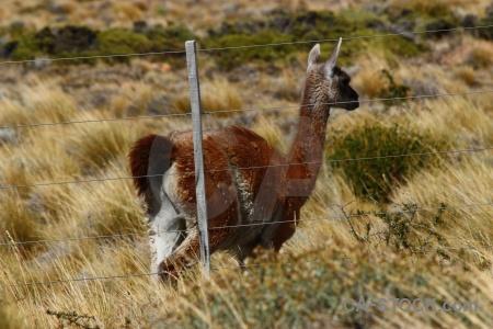 Animal field patagonia argentina deer.