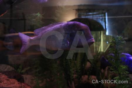 Animal fish black purple.