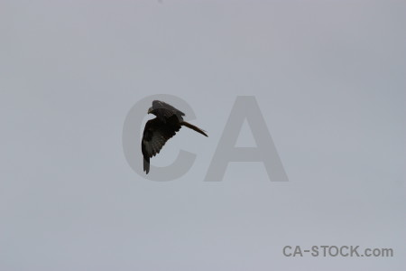 Animal flying bird sky gray.