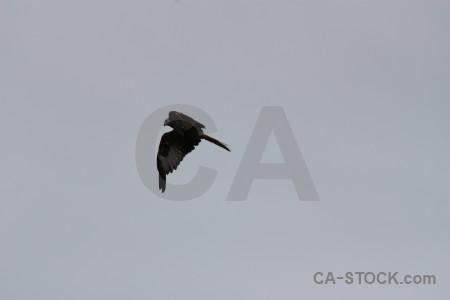 Animal flying bird sky gray.