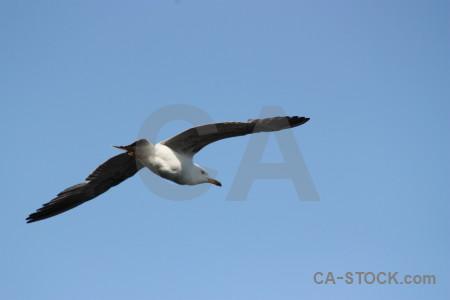 Animal flying sky seagull bird.