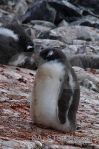 Animal gentoo chick petermann island penguin.