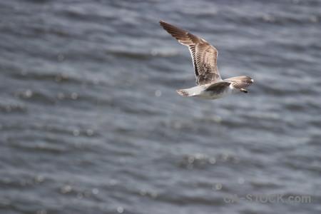 Animal gray flying bird.