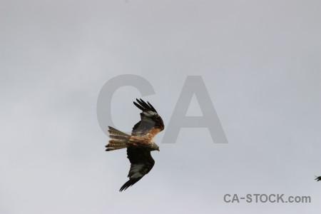Animal gray flying bird sky.