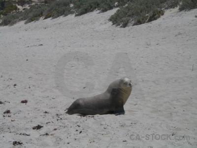 Animal gray seal.