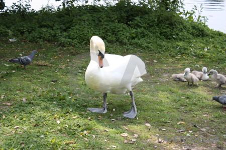 Animal green aquatic swan bird.