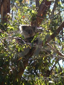 Animal green koala.