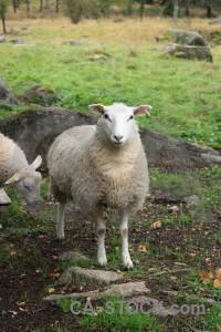 Animal green sheep.