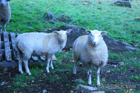 Animal green sheep blue cyan.