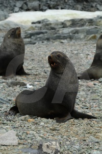 Animal horseshoe island antarctic peninsula fur seal day 6.