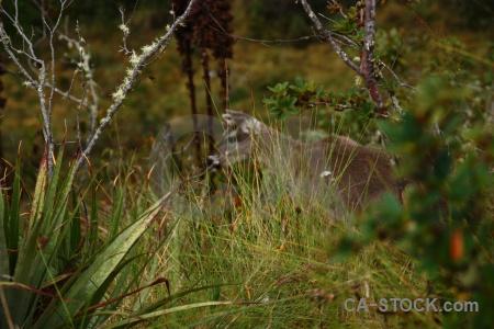 Animal inca trail branch andes altitude.
