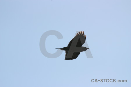 Animal jackdaw sky flying bird.