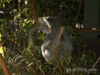 Animal koala.