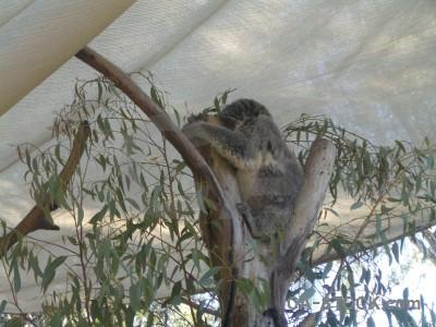 Animal koala gray.