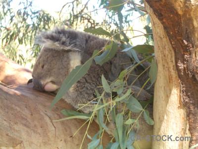 Animal koala green.
