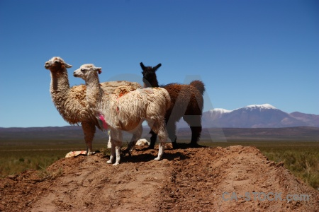 Animal llama altitude south america sky.