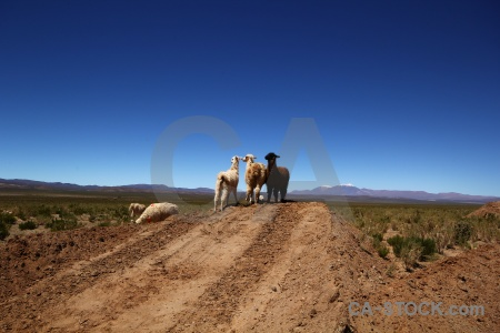 Animal mountain salta tour argentina altitude.