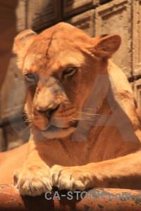 Animal orange cat lion brown.