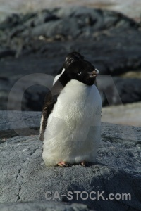 Animal petermann island antarctica adelie snow.