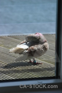 Animal pigeon bird dove.