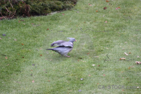 Animal pigeon bird dove grass.