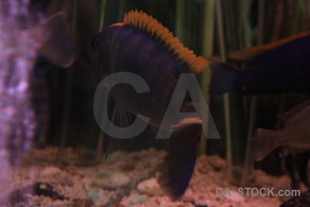 Animal purple black fish.