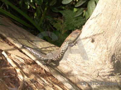 Animal reptile green lizard.