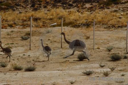 Animal rhea south america emu argentina.