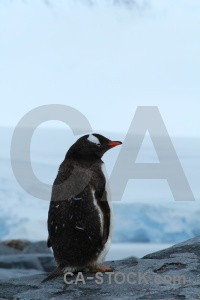 Animal rock antarctic peninsula dorian bay gentoo.