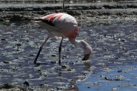 Animal salt lake bird andes.