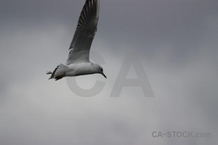 Animal seagull bird flying sky.