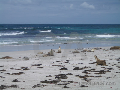 Animal seal blue.