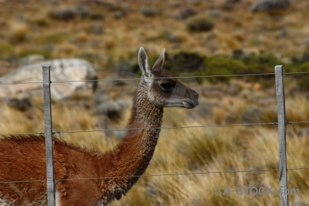 Animal south america argentina field patagonia.