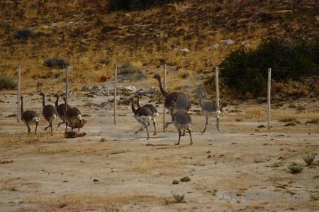 Animal south america field fence emu.