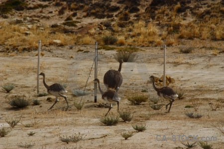 Animal south america field ostrich patagonia.