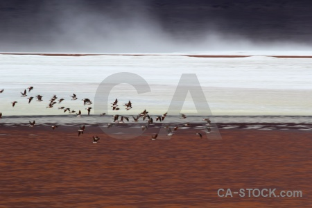 Animal south america laguna colorada salt lake water.
