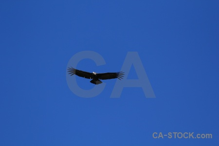 Animal south america sky altitude andean condor.