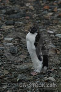 Animal south pole day 6 horseshoe island antarctica.