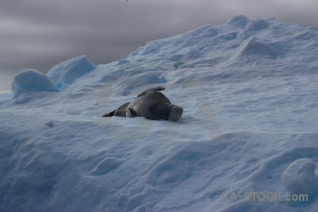 Animal south pole wilhelm archipelago antarctic peninsula argentine islands.